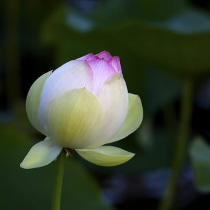 Beauty, Lotus bud about to open